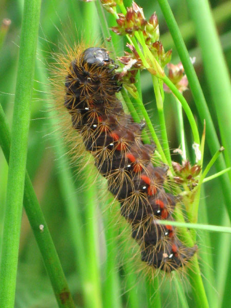 The caterpillar of the light knot grass moth (Acronicta menyanthidis) belongs to the very large radiation of plant feeding Lepidoptera. However, many groups of plant-feeding insects are species-poor relative to their non-plant feeding relatives.<br/>(Credit: Peter J. Mayhew)