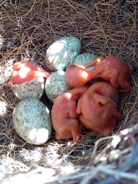 Magpie chicks just hatched.<br />(Credit: Mercedes Molina Morales)