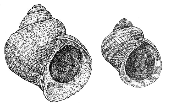 Ecotype variation in <i>Littorina saxatilis</i> marine snails. In these organisms, different forms are genetically specialized to specific habitats, such as to sheltered boulder shores with high crab predation risk (crab morph, <i>left</i>) or wave-exposed rocky shores (wave morph, <i>right</i>). The shell phenotype is also influenced by environmental conditions during development. <br />(Credit: Kerstin Johannesson, University of Gothenburg, Sweden)