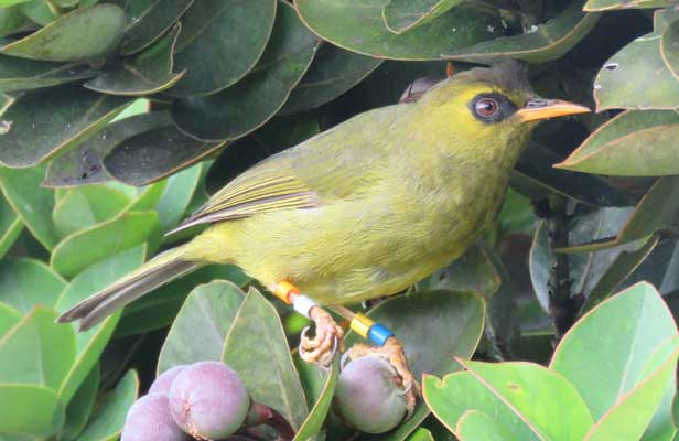 Mountain Blackeye (<i>Chlorocharis emiliae</i>) with color bands at Laban Rata field station on Mt. Kinabalu (~3200 meters elevation).<br />(Credit: T. R. Forrester)
