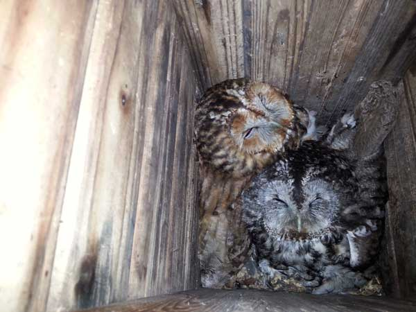 Two tawny owl parents with chicks at the bottom of a next box.<br />(Credit: Patrik Karell)
