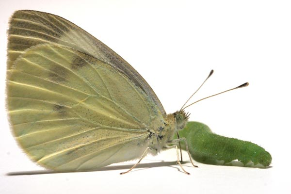 Cabbage white butterfly (<i>Pieris rapae</i>) and caterpillar.<br />(Credit: Emilie C. Snell-Rood)