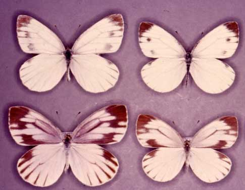 Pictures of the two Pierid species. The left side is <i>Pieris melete</i>, the right side is <i>P.&nbsp;napi</i>; the top side is male, and the bottom side is female.<br />(Credit: Yoshibumi Sato)