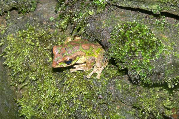 A treefrog (<i>Rhacophorus omeimontis</i>).<br />(Credit: Yiqiang Fu)